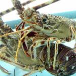 langosta-hummer-lobster Santanyi